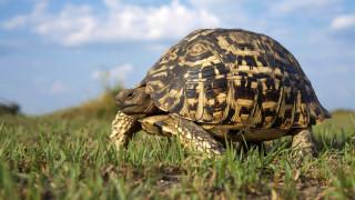 панцирь, трава, черепаха
