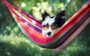 животные, собаки, собака, гамак, очки