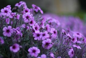 цветы, бутоны, сиреневые, заросли