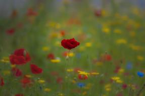 цветы, луговые , полевые,  цветы, маки, поле, трава