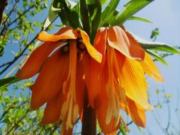 соцветие, оранжевые