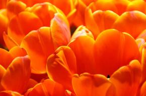 тюльпаны, оранжевые
