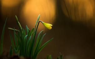 подснежник, желтый, листья, бутон