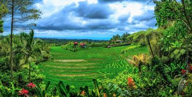 тропики, пальмы, рисовые, поля
