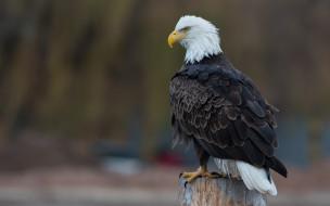 орлан, столб, белоголовый орлан, природа, птица, фон, хищная