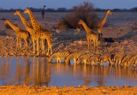 зебры, водопой, жирафы