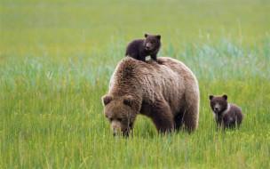 хищник, медведь, природа, cub, animal bear, animal baby, cute