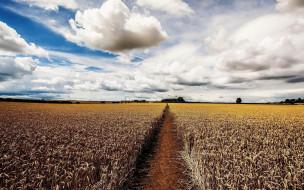 поле, тропинка, пшеница