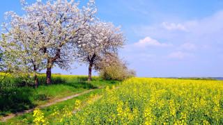 поле, рапс, весна