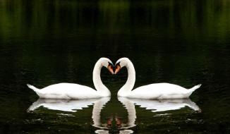 лебеди, белые, пара, озеро