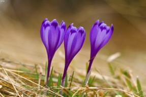 фиолетовые, крокусы, трава