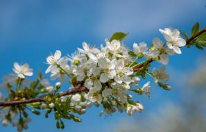 цветы, цветущие деревья ,  кустарники, цветение, весна, небо, ветка