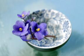 цветы, фиалки, синий