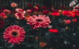 цветы, герберы, цветник