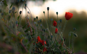поле, маки, красные