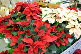 цветы, пуансеттия, звезда, рождественская