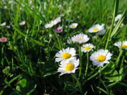 луг, ромашки, трава