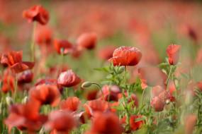 цветы, маки, поле, красные