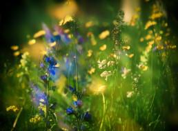 цветы, луговые , полевые,  цветы, луг, трава
