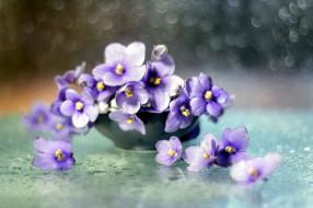 цветы, фиалки, боке