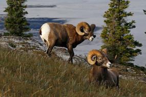 животные, овцы,  бараны, канада, рога, природа, толсторог, баран