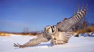 животные, совы, небо, крылья, снег, сова, белая, зима