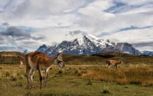животные, ламы, torres, del, paine, chile