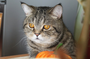животные, коты, взгляд, тыква, глаза