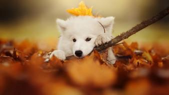 животные, собаки, белая, палка, листья, осень, собака