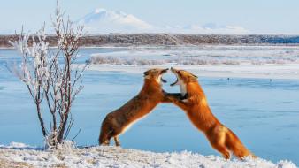 животные, лисы, оскал, снег, зима