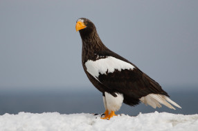 снег, хищник, птицы, белоплечий орлан