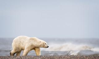 медведь, море, природа