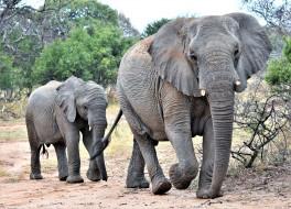 слониха, слонёнок, семья