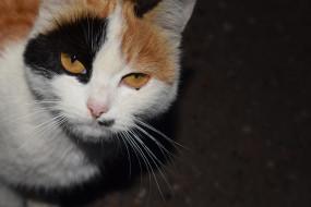 животные, коты, трехцветная, кошка, взгляд