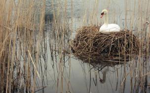 гнездо, вода, лебедь, белый