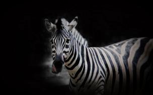 животные, зебры, фон, зебра, природа
