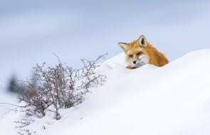 зима, снег, лиса