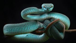 животные, змеи,  питоны,  кобры, белогубая, куфия
