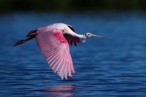 животные, ибисы,  колпицы, ибис, вода, полет, розовый