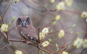 цветение, сова, верба, ветки, весна