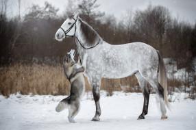 собака, уздечка, лошадь, стойка, зима, снег, хаски, конь