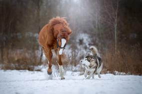 снег, бег, собака, хаски, лошадь