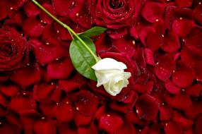 лепестки, бутон, роза, белая