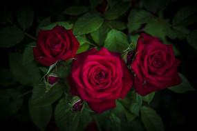 макро, розы