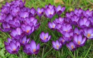 Цветение, Луг, Весна, Крокусы, Цветы