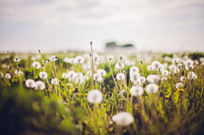 поле, белые, одуванчики, трава