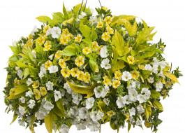 белый фон, петунии, цветы