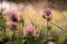 дождь, трава, розовый, клевер