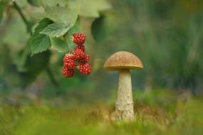 природа, грибы, гриб, ежевика, подберезовик