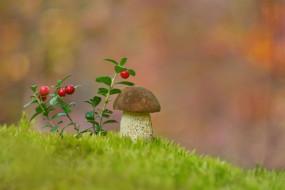 природа, грибы, брусника, боровик, гриб, мох
